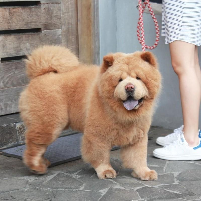 Больше всего пес любит есть и спать Instagram, животные, медведь, пес, соцсеть, сходство, филиппины, чау-чау