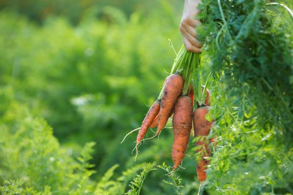Вырванная морковь