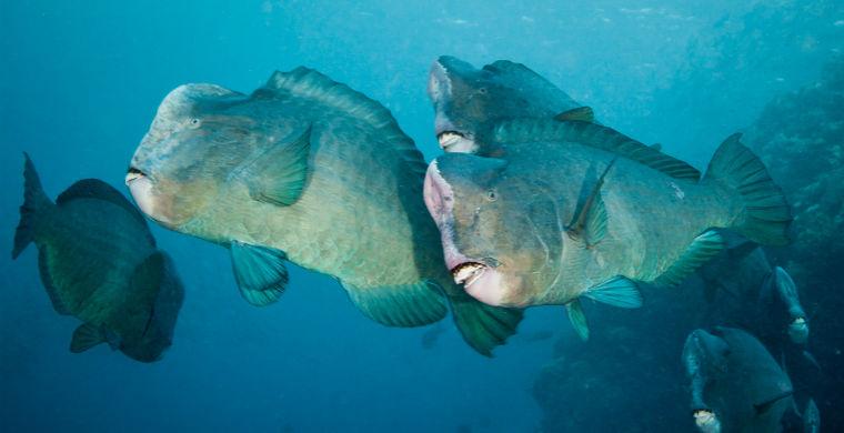 Рыбы-попугаи впервые замечены за участием в массовой «оргии»