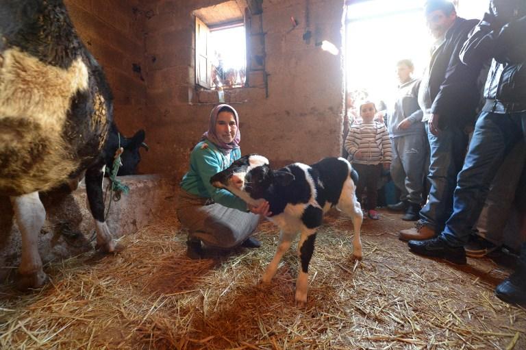 Роди у корови фото 11 фотография