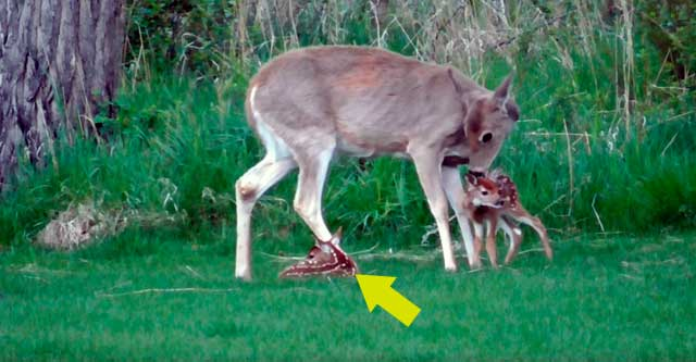 У оленёнка была травма ноги и мама его оставила. Но малышу улыбнулась удача!