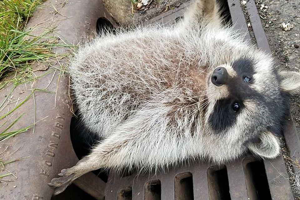 Упитанному еноту понадобилась помощь, чтобы выбраться из решетки канализации