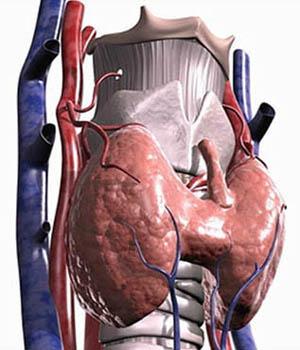 Щитовидная железа. Glandula thyroidea