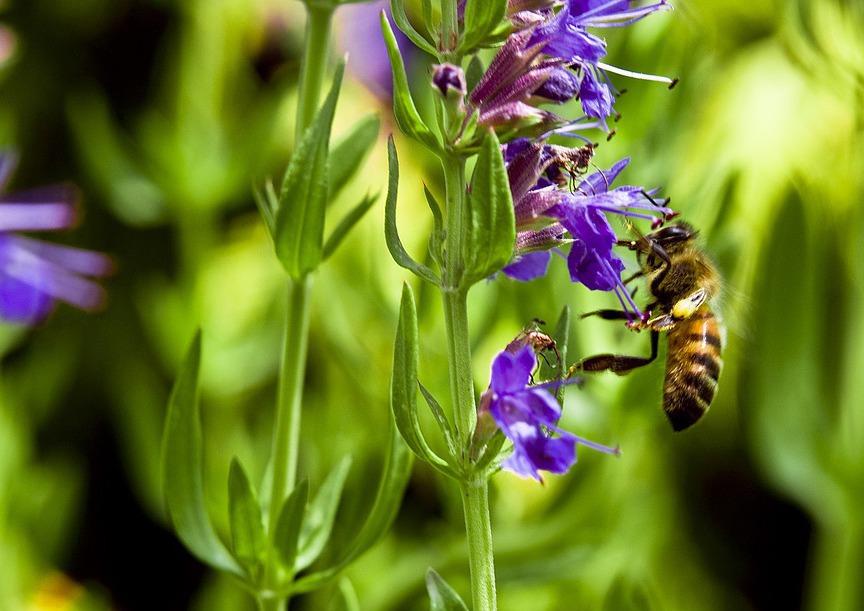 Иссоп – уникальное лечебное растение! И вот что он лечит