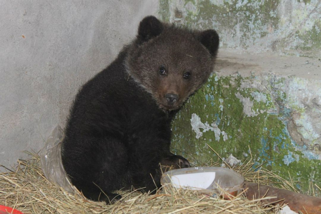 В Омской области медвежонок, у которого убили мать, сам вышел к людям