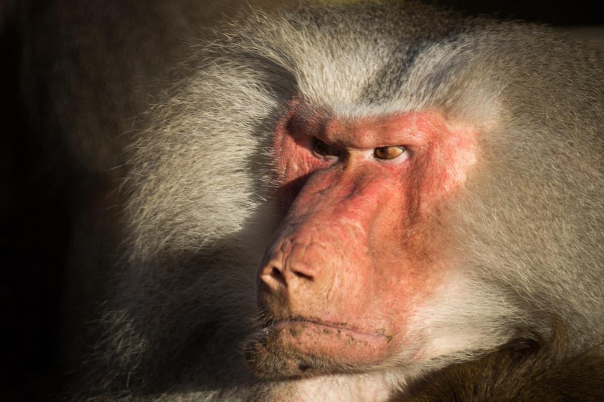 Пересадка свиных сердец бабуинам прошла успешно