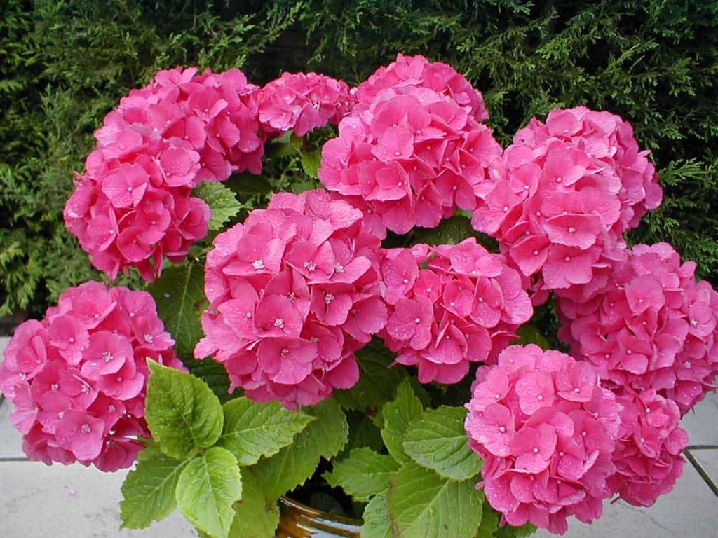 6 правил при выращивании комнатной гортензии
