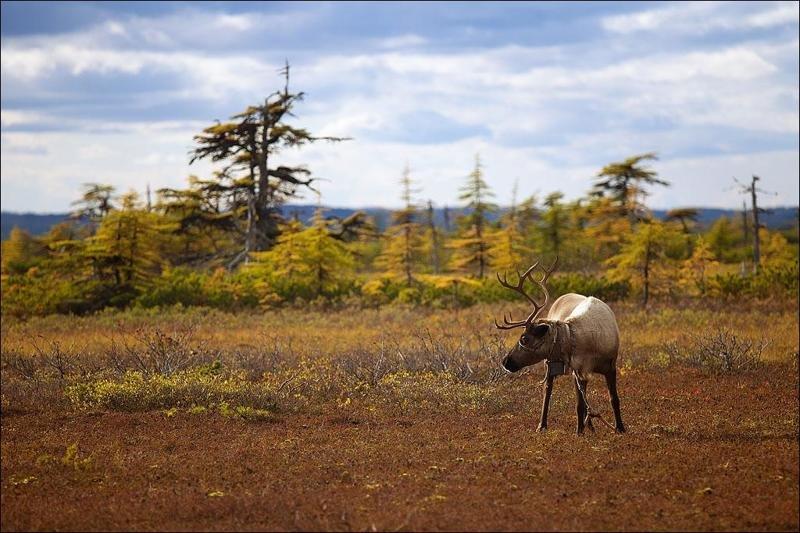 Лесотундра животные, природа, растения