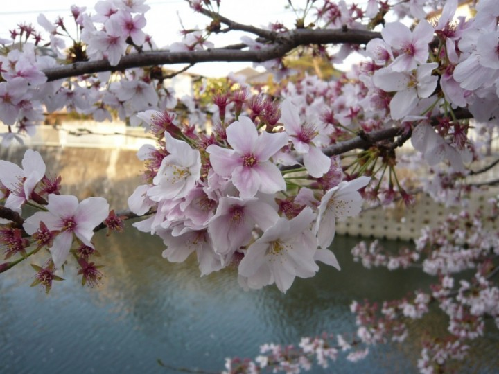 Ветка японской сакуры. Фото