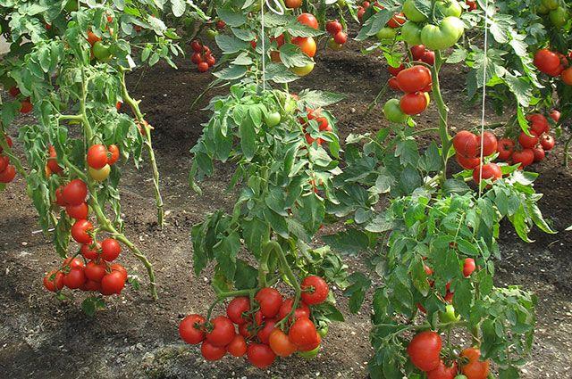 Самые злободневные вопросы начинающих дачников о томатах