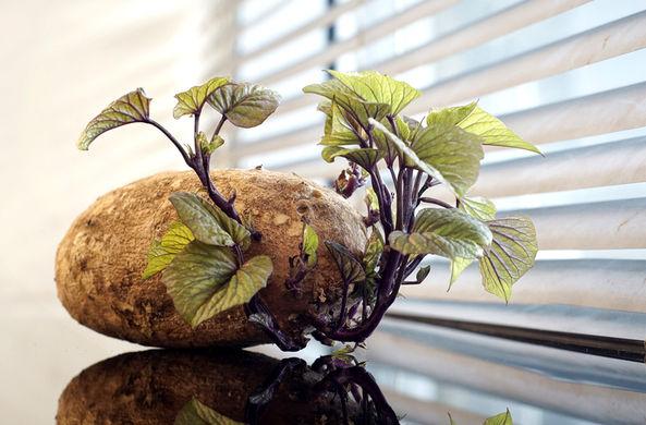 Ученые объяснили, почему проросший картофель не нужно выбрасывать