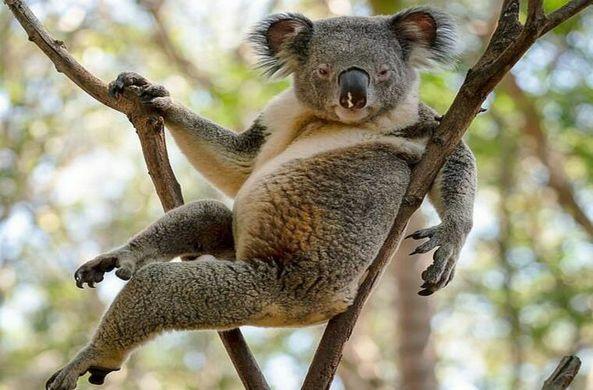 Обольстительная коала стала звездой сети