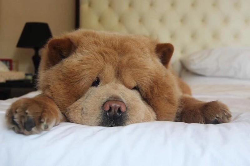 3-летний чау-чау по кличке Чаудер Instagram, животные, медведь, пес, соцсеть, сходство, филиппины, чау-чау