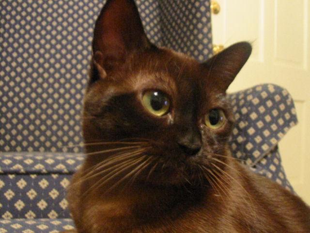 КОШКИН ДОМ. Бурманская кошка (бурма)