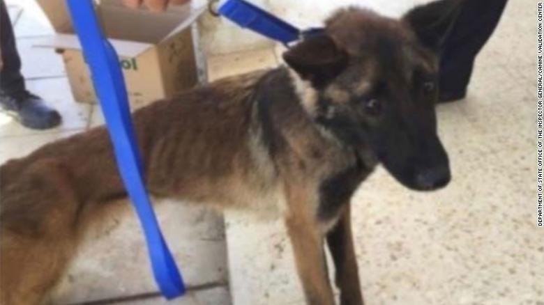 Собачья верность и человеческая неблагодарность, или Почему американские псы-саперы умирают в Иордании