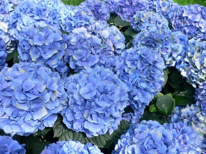 4278666_1348781_hydrangea_macrophylla__hortensia_hydrangea (700x525, 158Kb)
