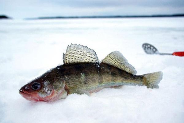 Особенности лова судака зимой