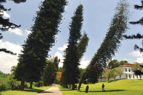 Удивительные сосны Кука, наклоняющиеся в сторону экватора