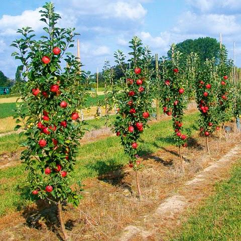 Колоновидные яблони уход обрезка