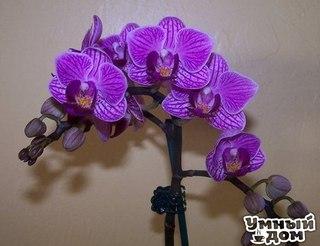 Как размножать орхидею фаленопсис? - Очень просто!!!