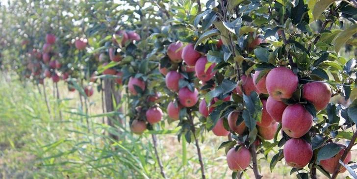 В краснодарской Анапе ведется закладка яблоневого сада интенсивного типа