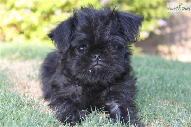 6. Брюссельский грифон (малая бельгийская собака) Порода, собака