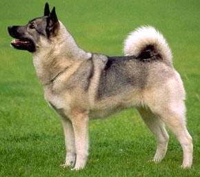 ТЕРЕМОК. Собака домашняя (общие сведения)