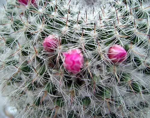 Виды кактусов для домашнего выращивания