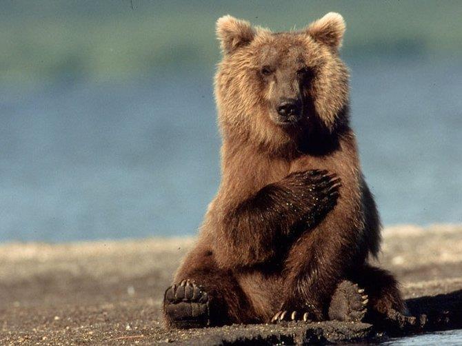 Медвежий юмор