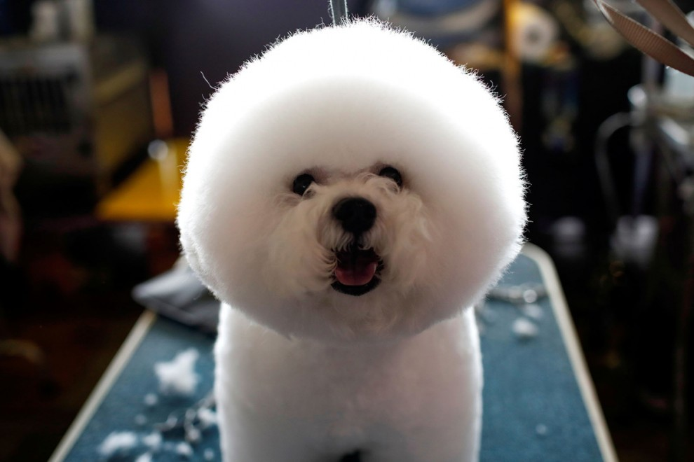 Самая престижная выставка собак в мире Westminster Kennel Club Dog Show