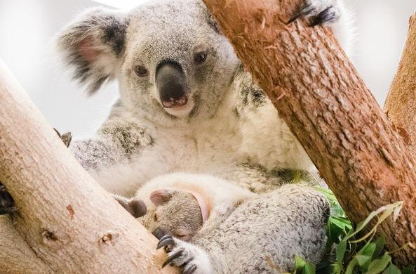В зоопарке Флориды маленькая коала впервые высунулась из сумки
