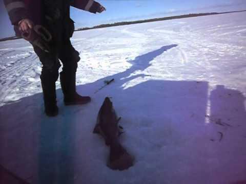 Трофейная Кумжа на Зимней рыбалке!