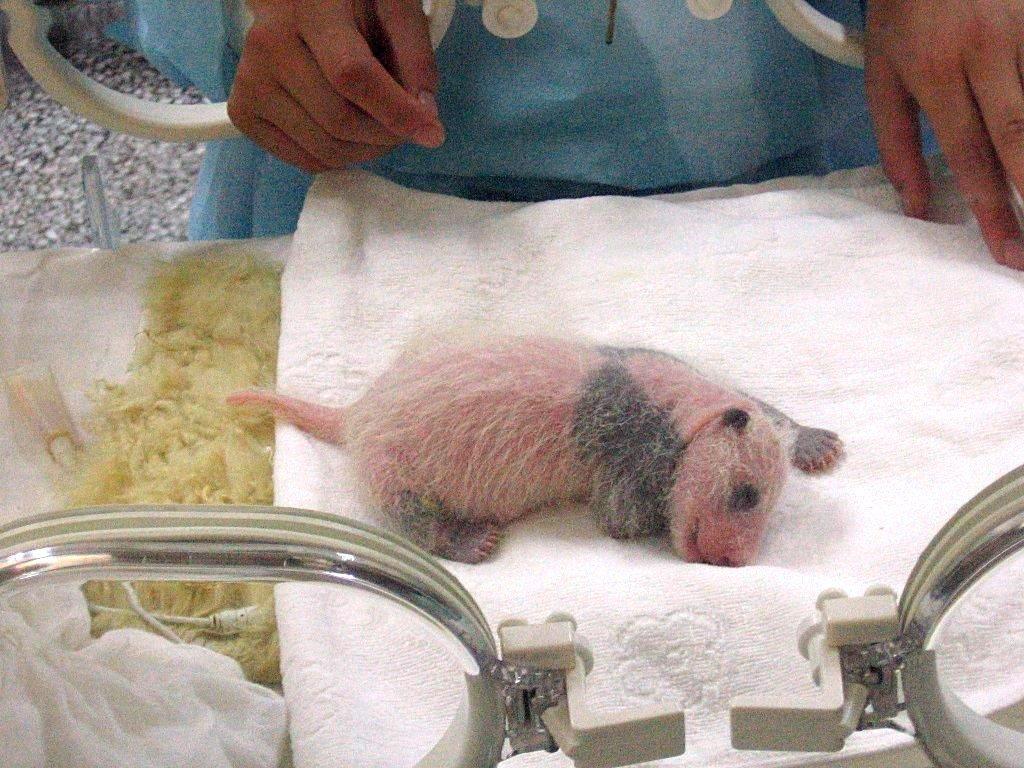 Как рождаются панды - удивительное видео