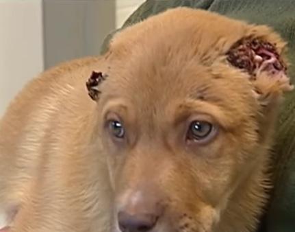 """""""Она стояла у двери и молила о защите…"""" Женщина думала, что уши собаки завернулись от страха – но в реальности всё было гораздо хуже"""