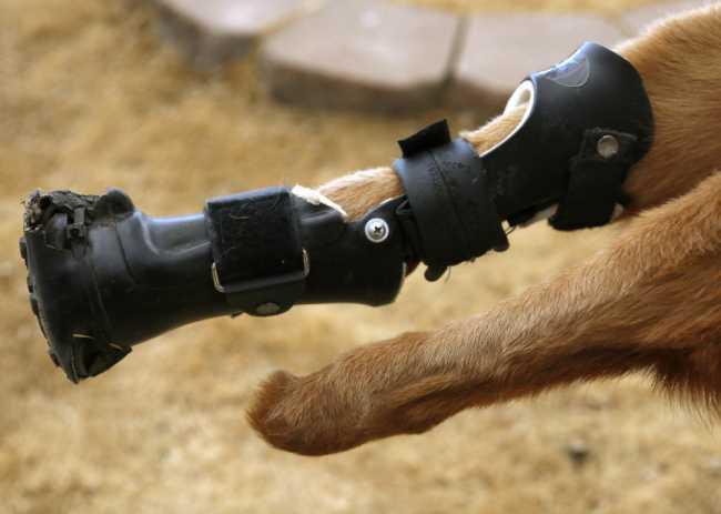 Собака без лап научилась ходить на бионических протезах