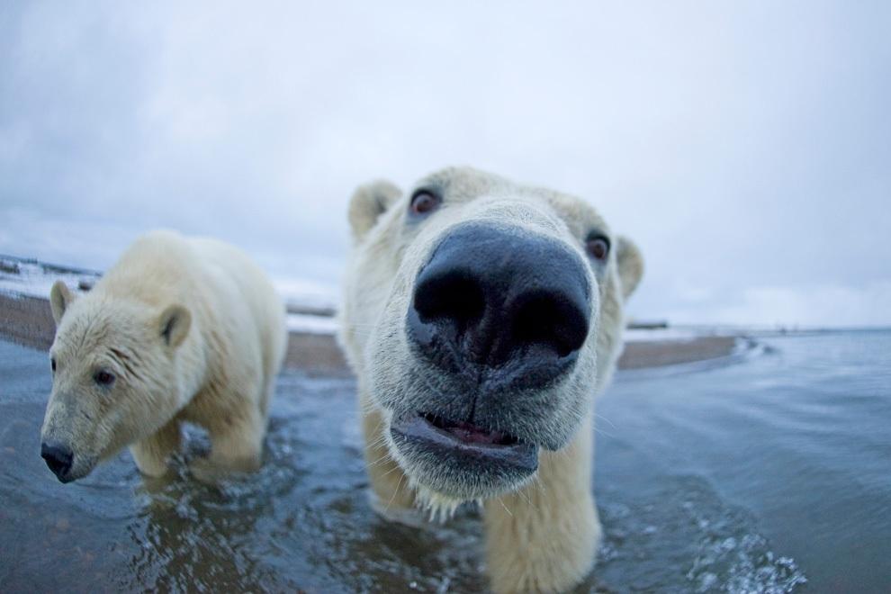Глава МИД ФРГ заявил, что единственными милыми соседями Европы являются белые медведи