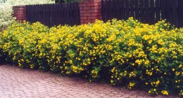 Лапчатка желтая - бордюрный кустарник