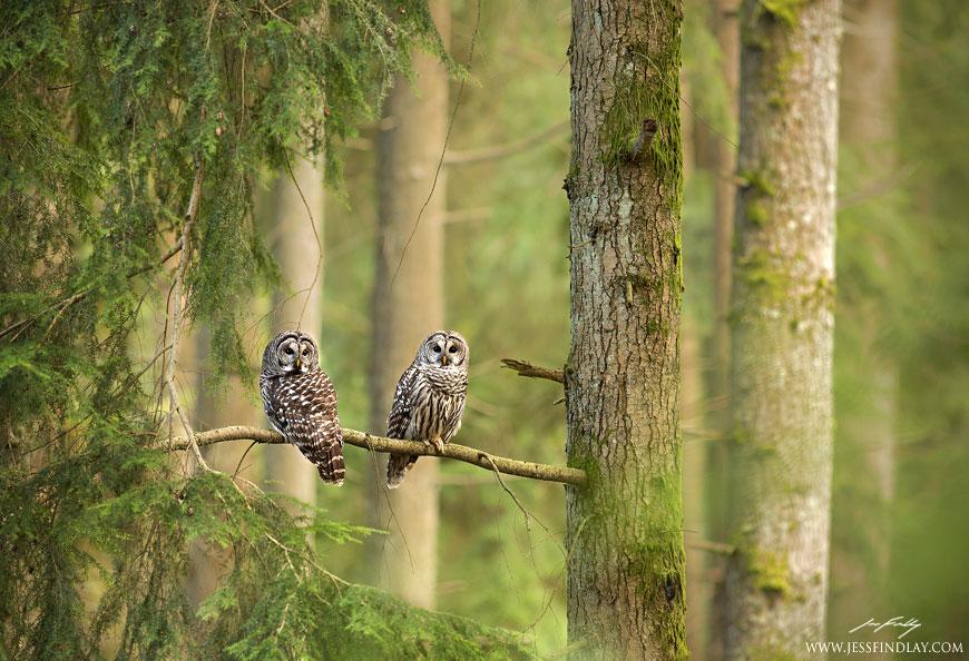 Полосатые неясыти - хранители леса