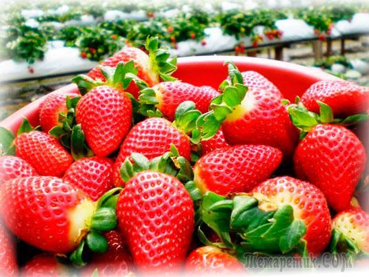 Как получить большой урожай клубники (земляники)