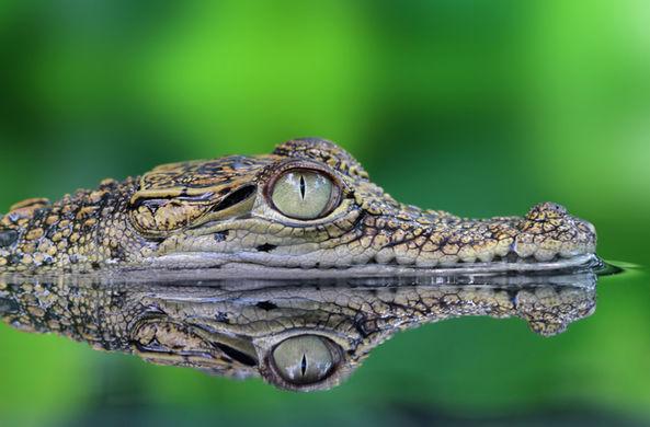 Очень быстрый крокодил украл добычу у рыбаков