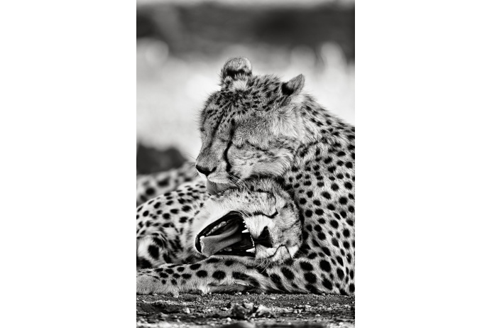 Пирамида Маслоу в мире животных: сытые леопарды охотнее проявляют нежность друг к другу. Национальный парк Крюгер, ЮАР