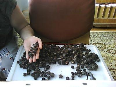 Vkusniogorod - Как вырастить клещевину 2