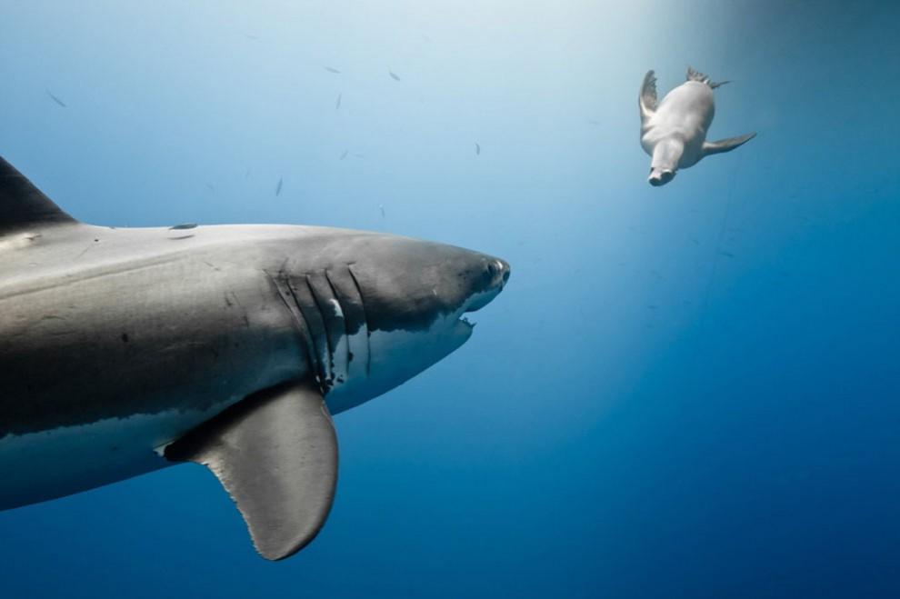 O tubarão branco e um leão marinho