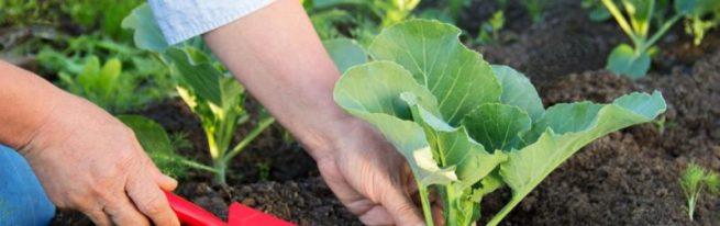 Когда и как высаживать рассаду капусты в открытый грунт