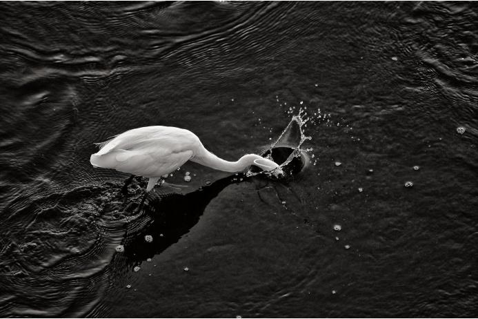 Большая белая цапля ловит рыбу в национальном парке Крюгер, ЮАР