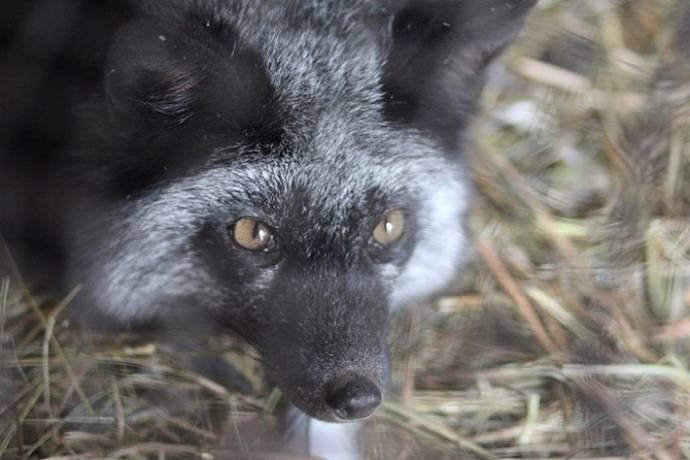 Девушка спасла лису от расправы охотников