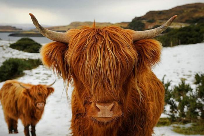 Шотландская порода крупного рогатого скота с длинными рогами и длинной волнистой шерстью.
