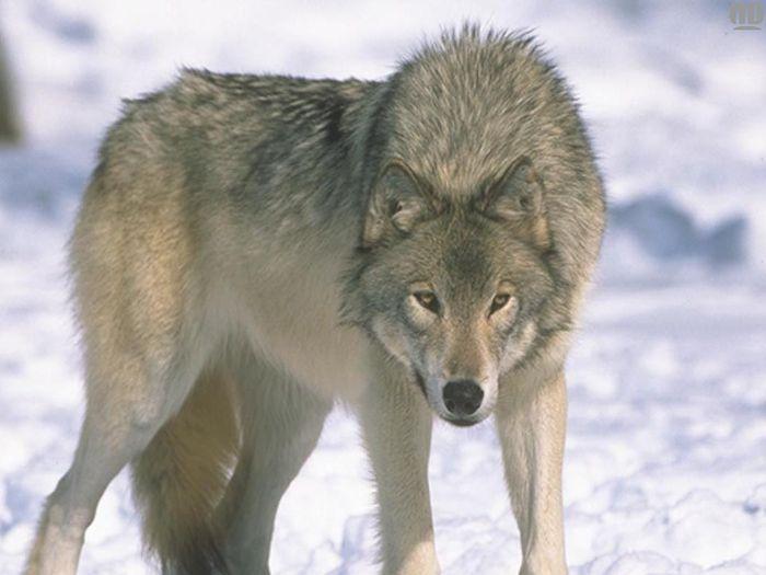 Картинка волк на белом фоне для детей