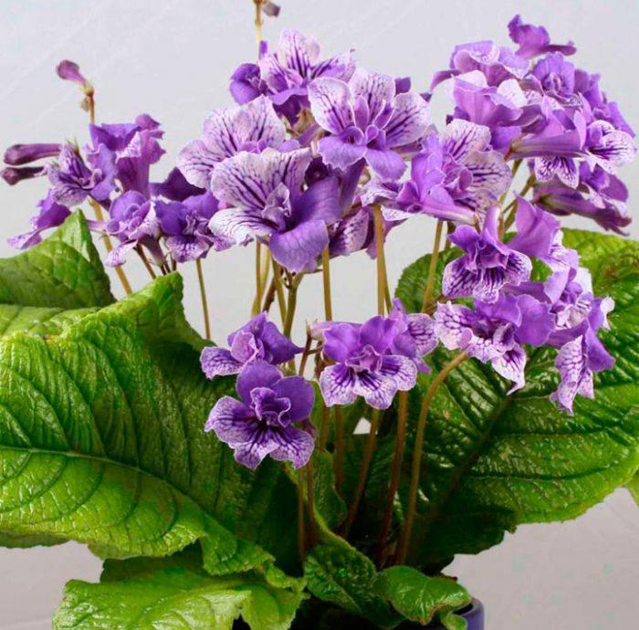 Стрептокарпус: уход в домашних условиях, выращивание из семян, виды