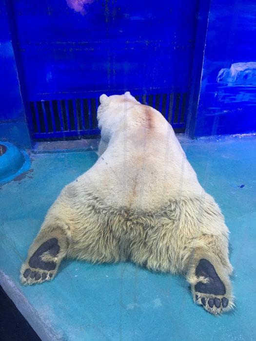 Большую часть дня медведь Пицца лежит, ничего не делая.